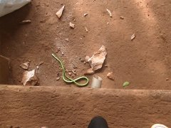 Wąż - zielona mamba, która w Ugandzie raz (i już więcej nie!) spadła z drzewa (ponoć jej jad zabija w ciągu pół godziny)